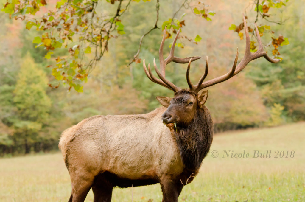 Elk in Cataloochee Valley GSMNP