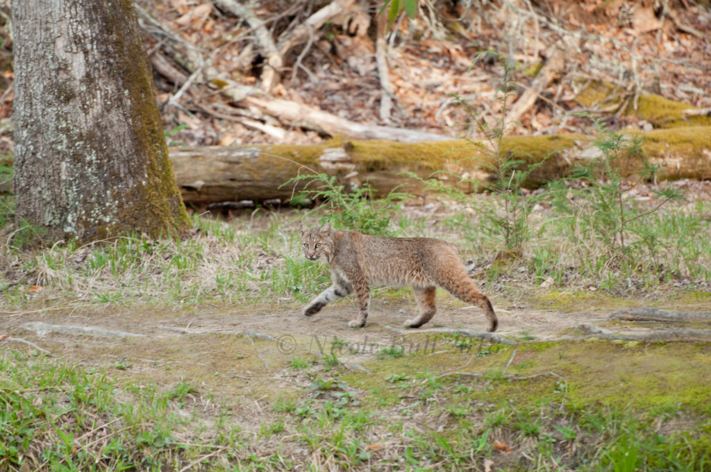 Bobcat in Cade's Cove GSMNP