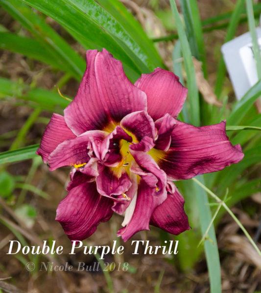 Double Purple Thrill