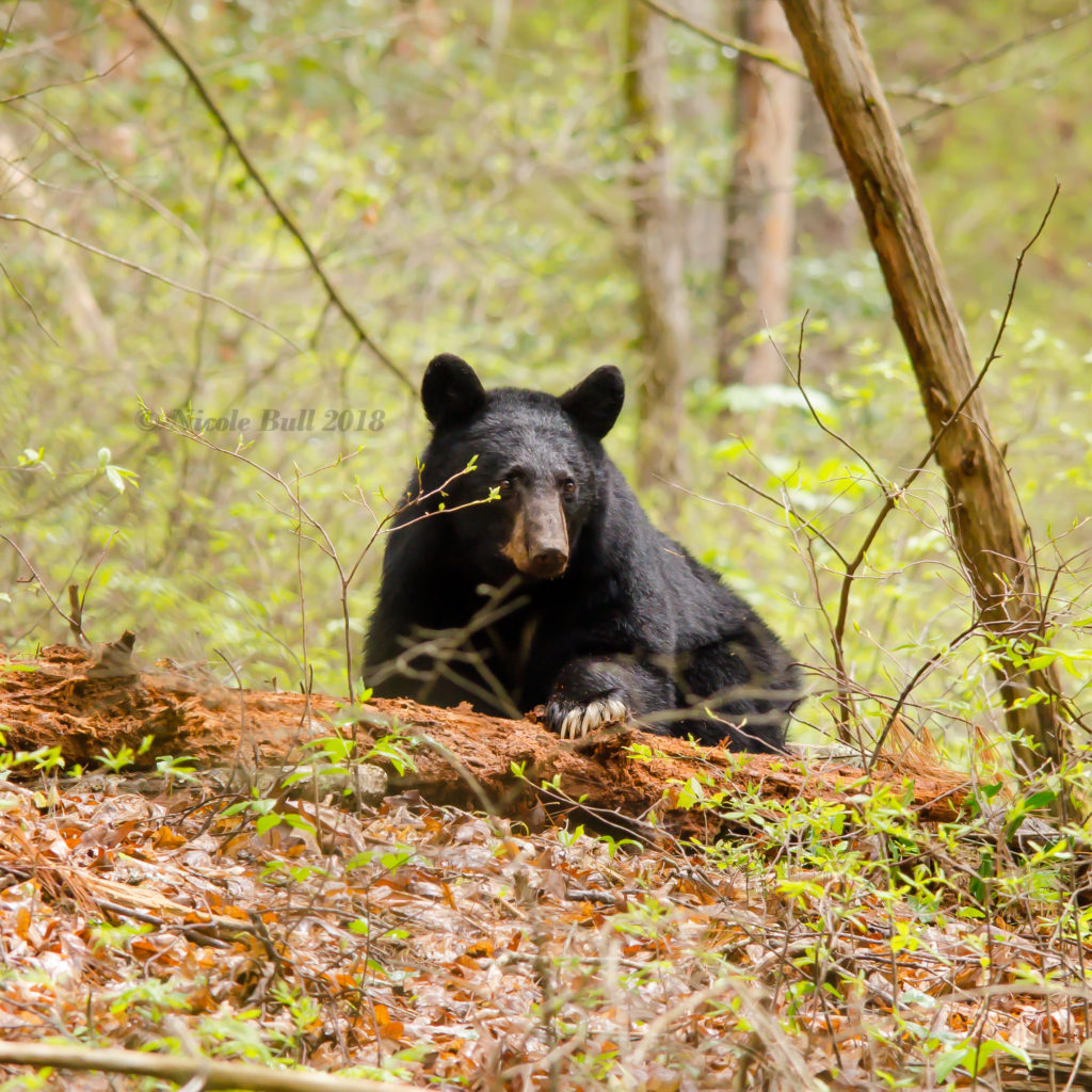 Bear in Cade's Cove GSMNP