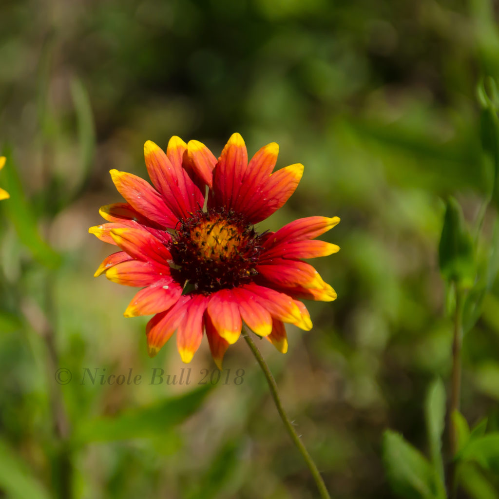 Indian Blanket (Gaillardia pulchell)