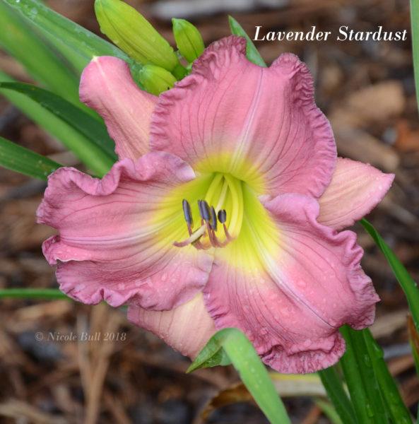 Lavender Stardust