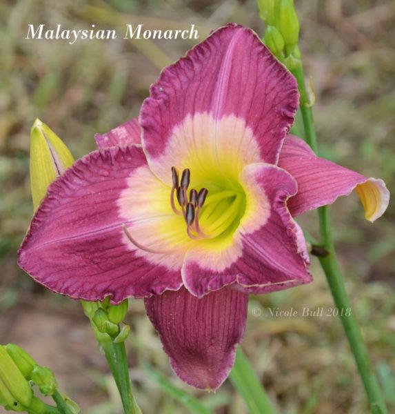 Malaysian Monarch
