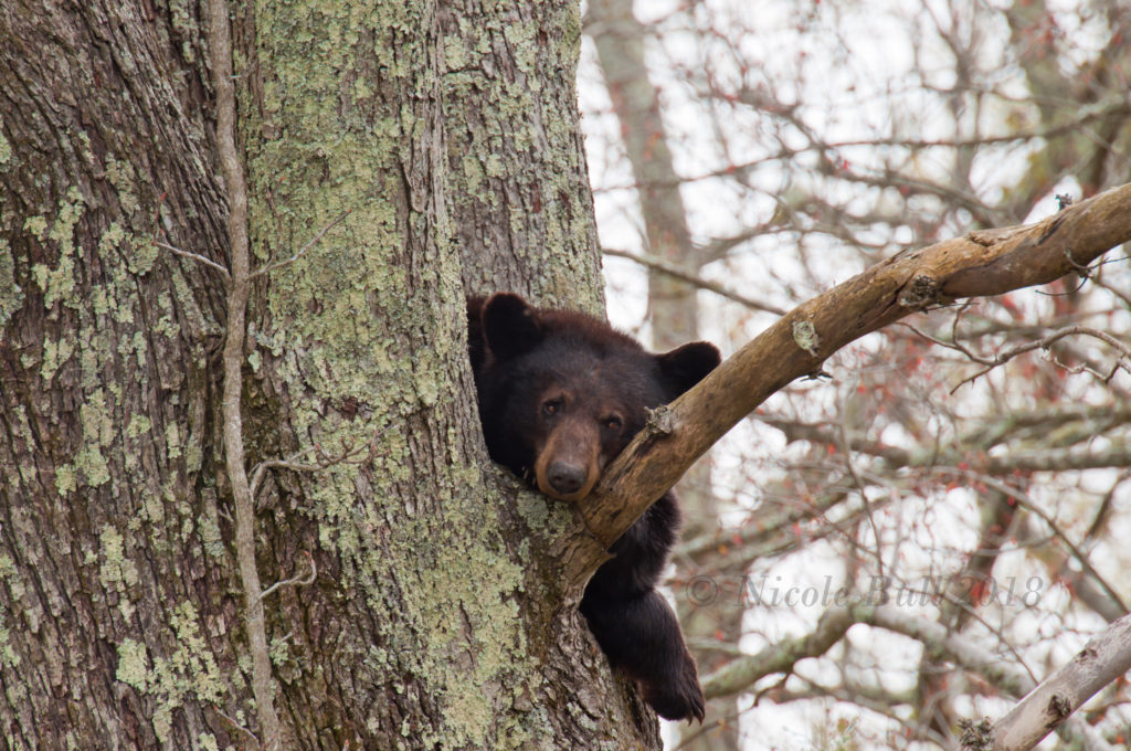 Momma Bear in a Cherry tree GSMNP