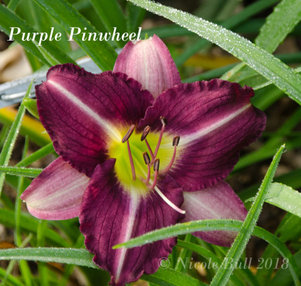 Purple Pinwheel