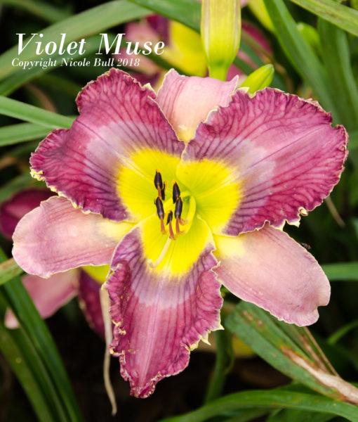 Violet Muse