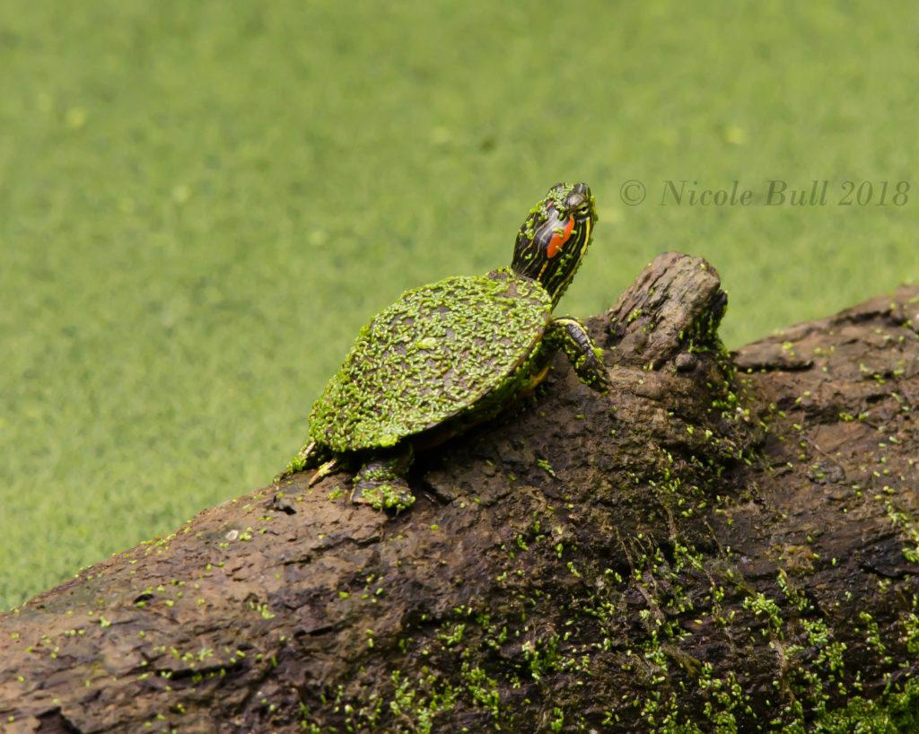 Virginia turtle