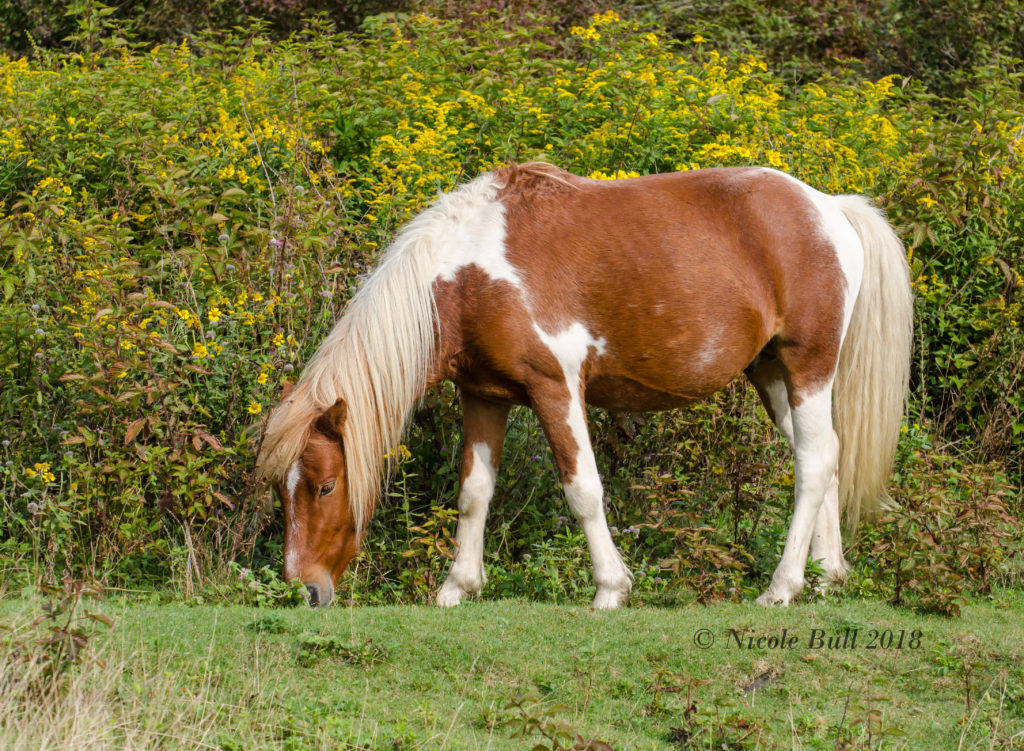 Feral ponies of Grayson Highlands