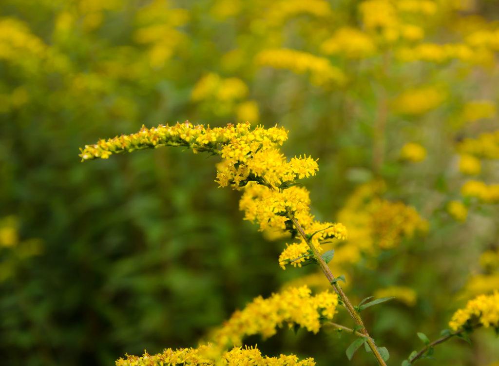 Goldenrod (Solidago altissima)