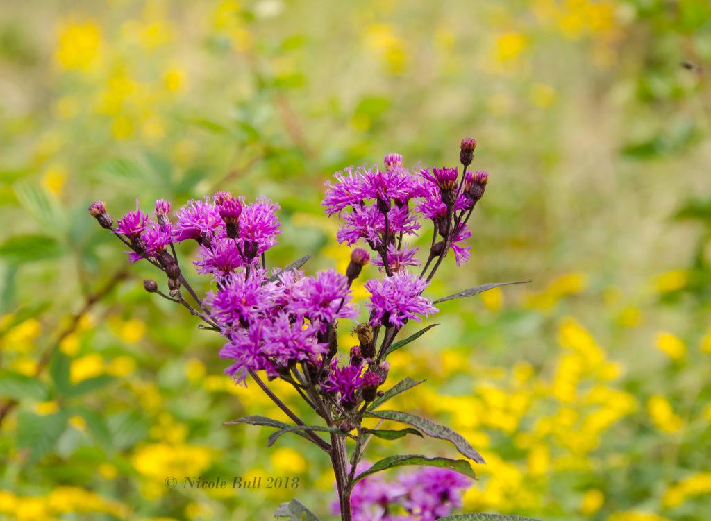 Ironweed (Vernonia gigantea)