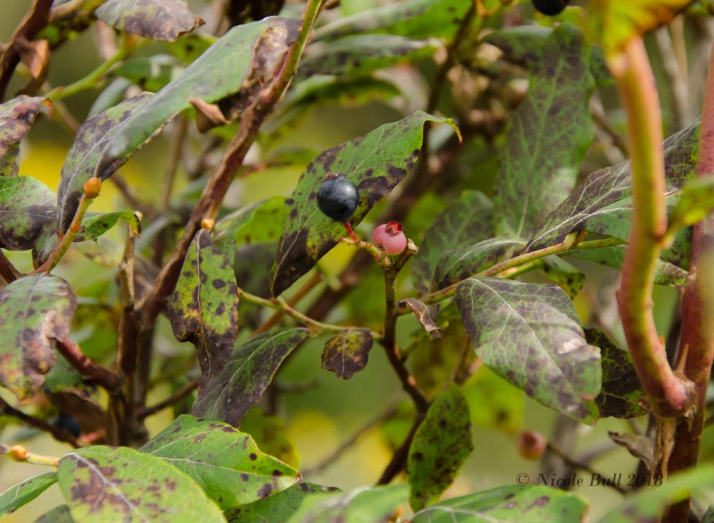 High Bush Blueberries (Vaccinium elliottii)