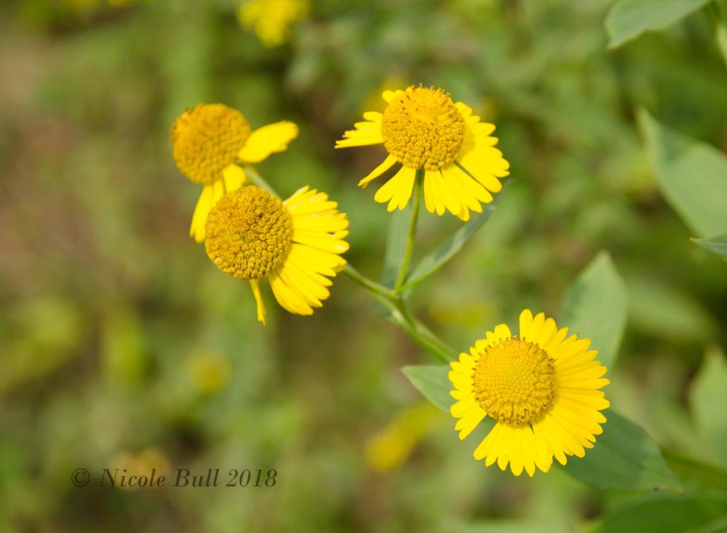 Sneezeweed (Helenium autumnale)
