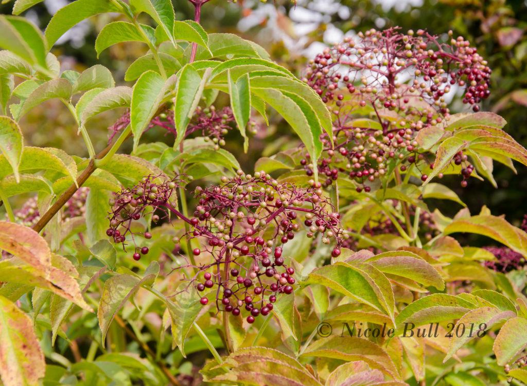 Elderberries (Sambucus canadensis)
