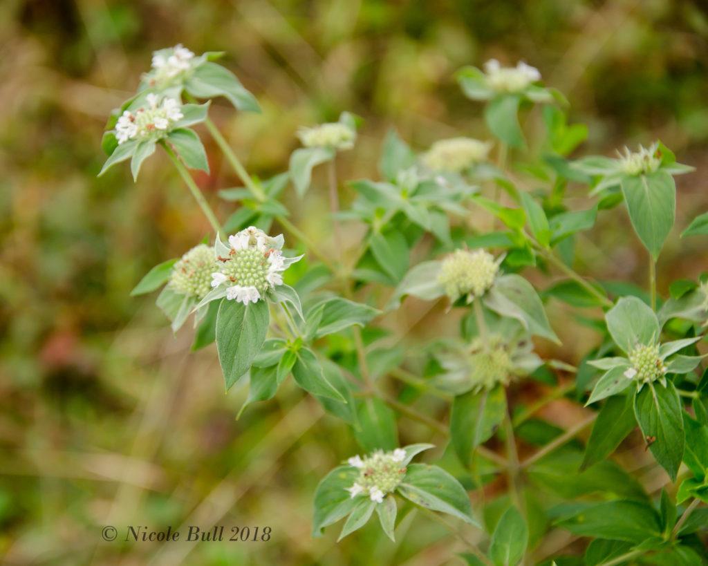 Mountain Mint (Pycnanthemum incanum)