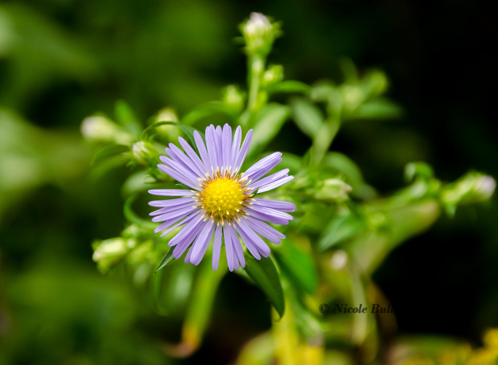Late Purple Aster (Symphyotrichum patens)