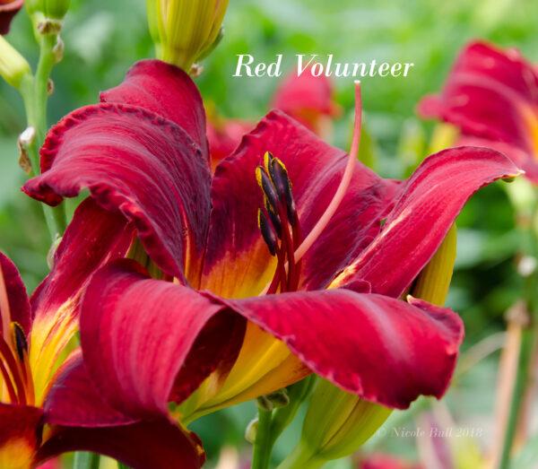 Red Volunteer