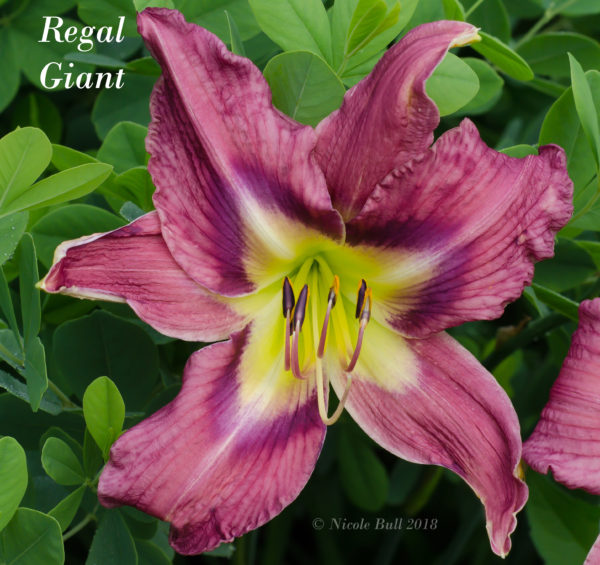 Regal Giant