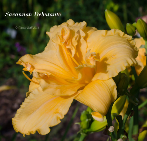 Savannah Debutante