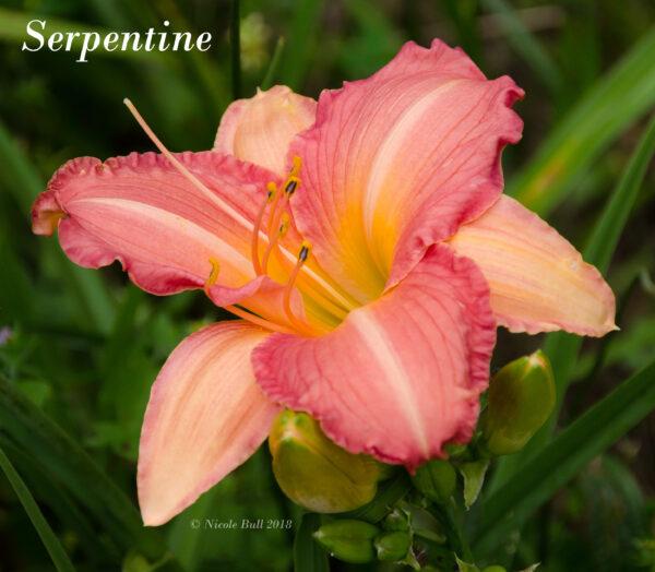 Serpentine