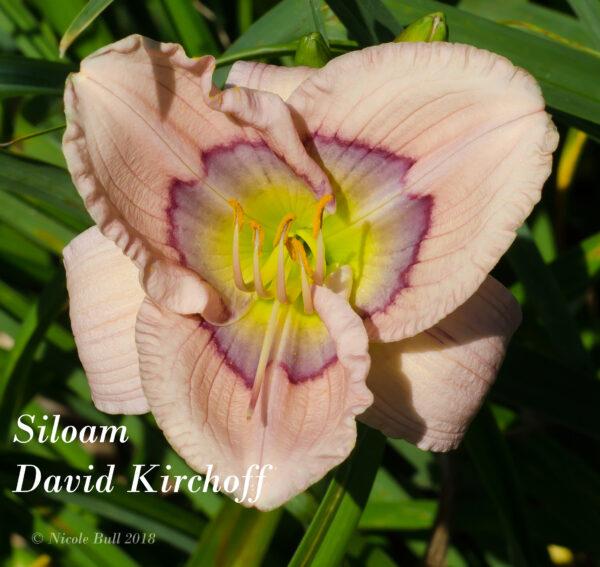 Siloam David Kirchoff