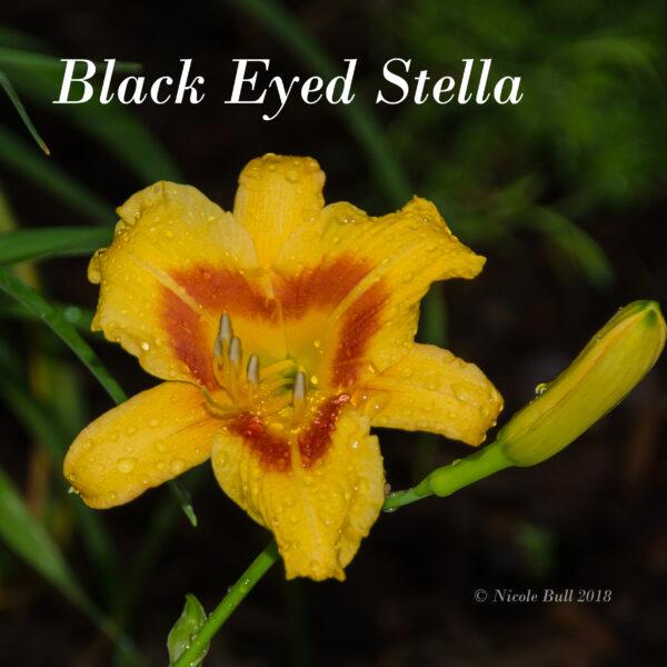 Black Eyed Stella