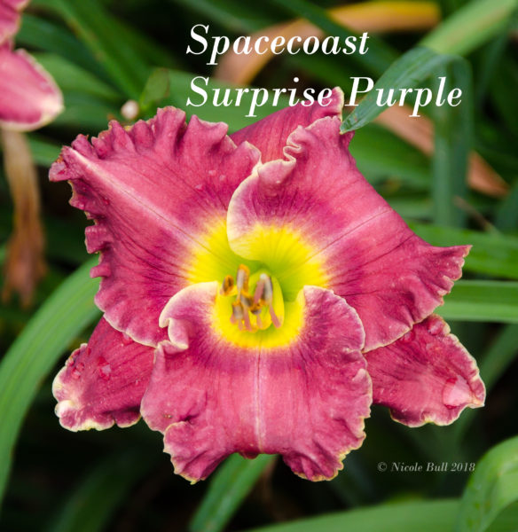 Spacecoast Surprise Purple