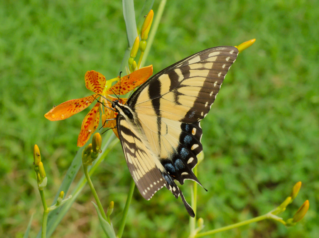 Swallowtail butterfly on a blackberry lily