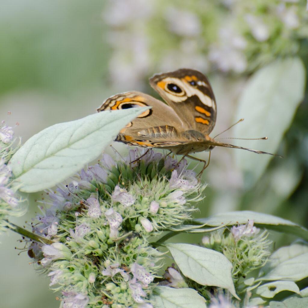 Buckeye butterfly, Mountain mint, cut flowers, pollinators