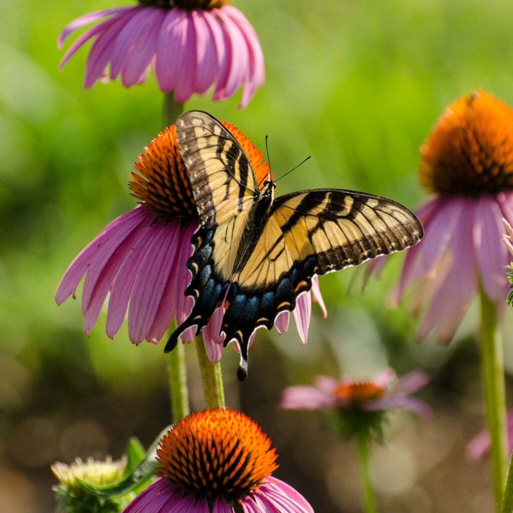 Tiger Swallowtail on Coneflowers