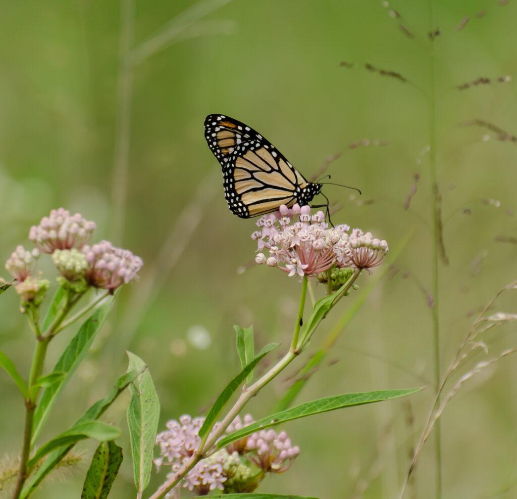 Monarch on Swamp milkweed (Asclepias incarnata)