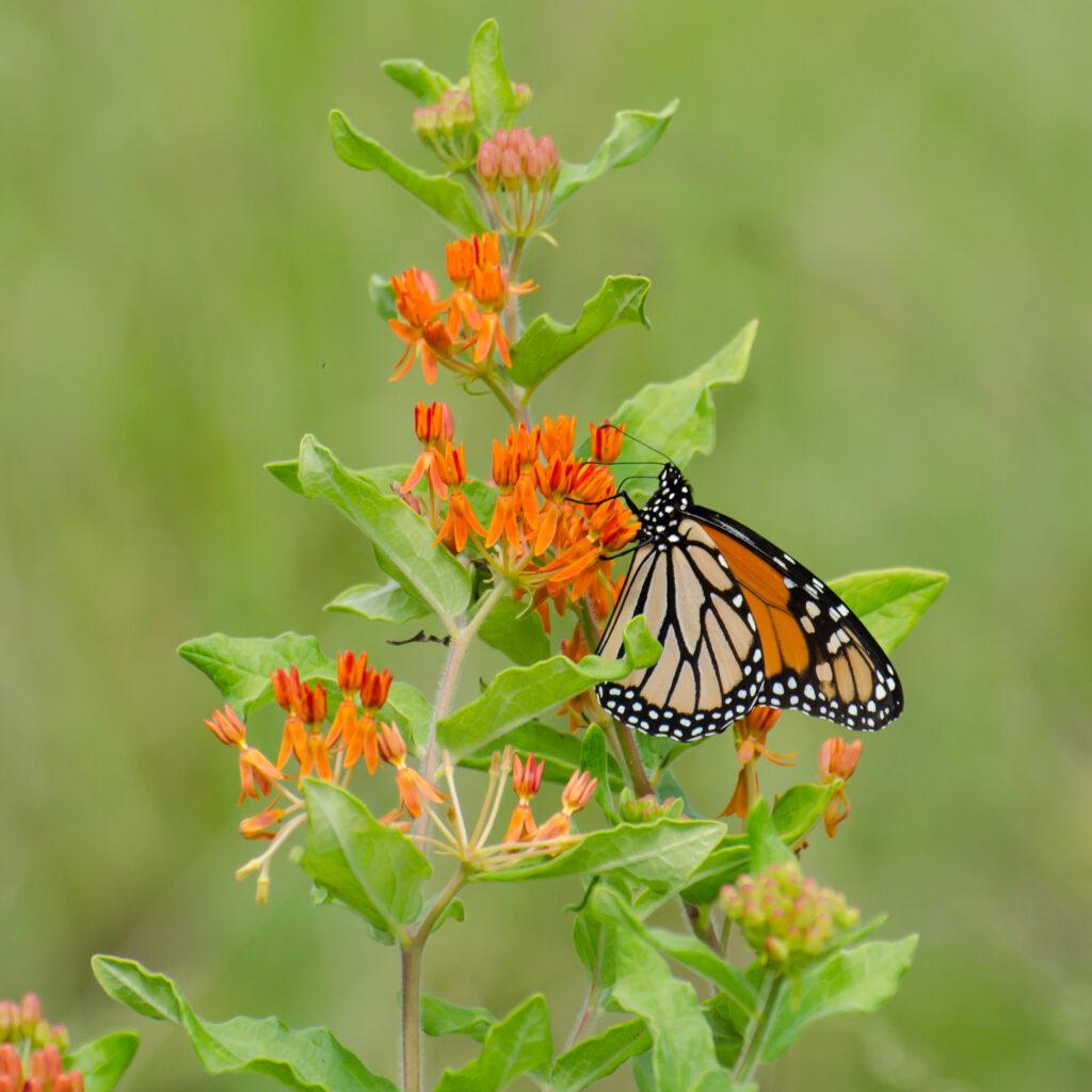 Monarch on Asclepias tuberosa