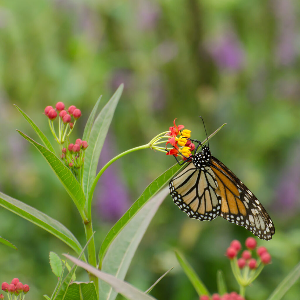 Monarch on tropical milkweed (Asclepias curassavica)