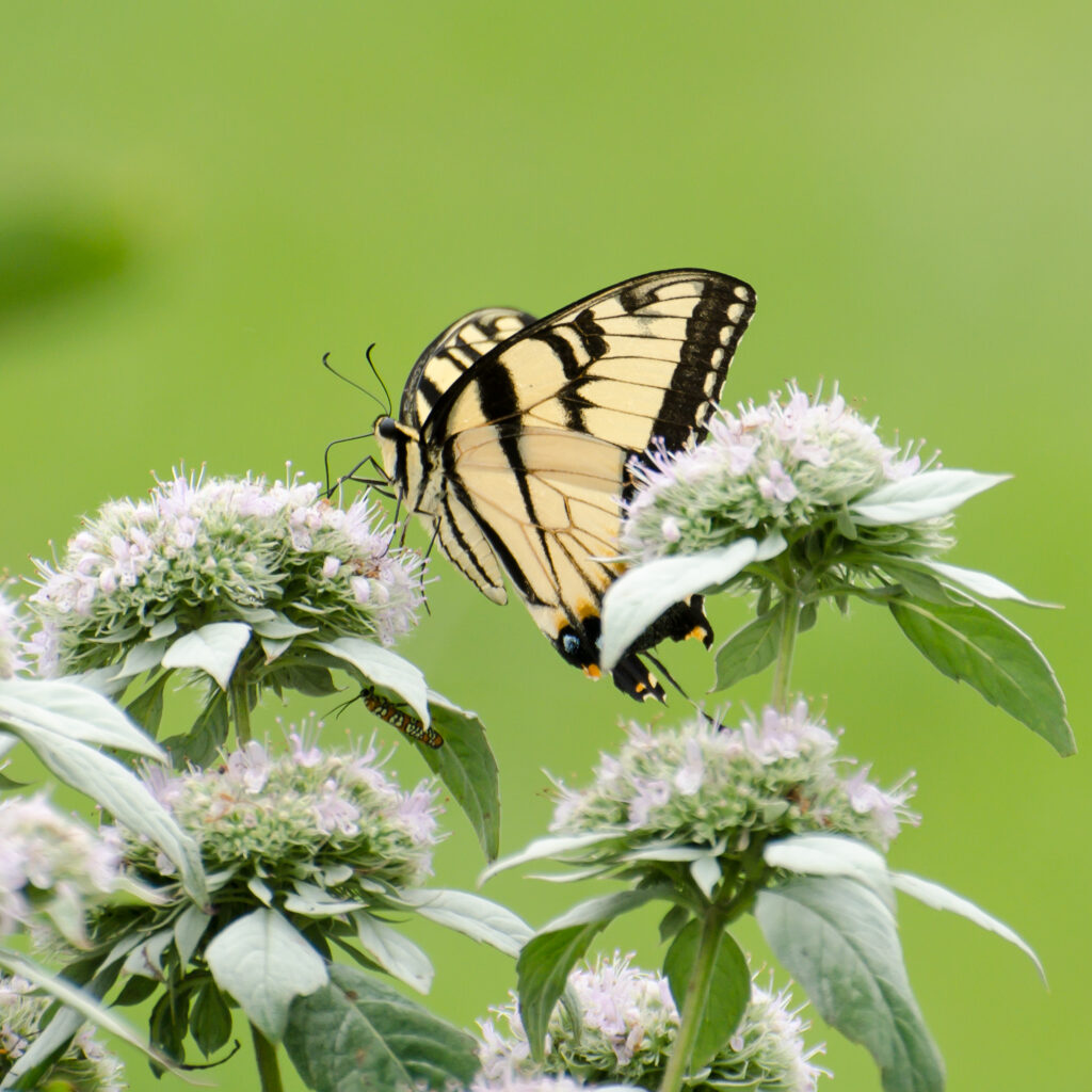 Swallowtail butterfly on mountain mint