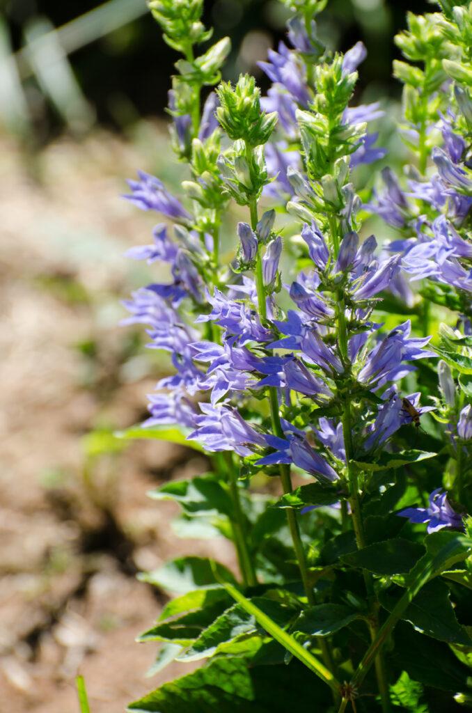 Blue Lobelia (Lobelia siphilitica)