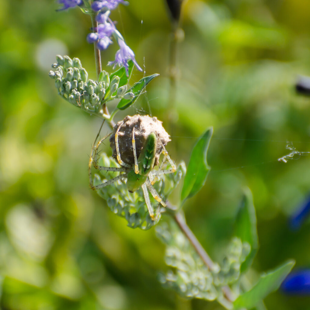 Green Lynx Spider with an egg case on Caryopteris