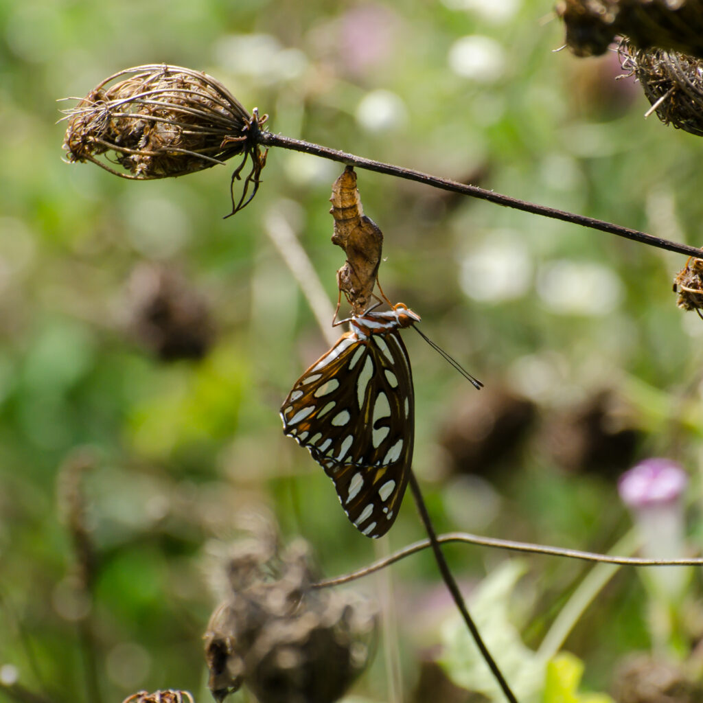 Gulf fritillary eclosing from its chrysalis