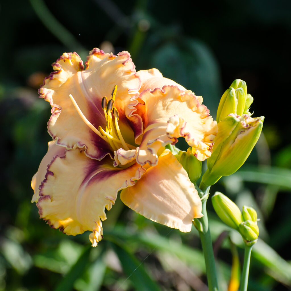 Daylily 'Woman At The Well'