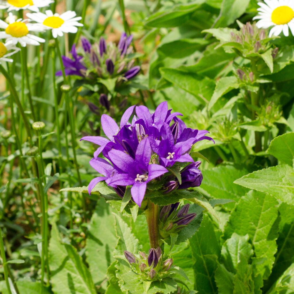 Globe Bellflower (Campanula glomerata)
