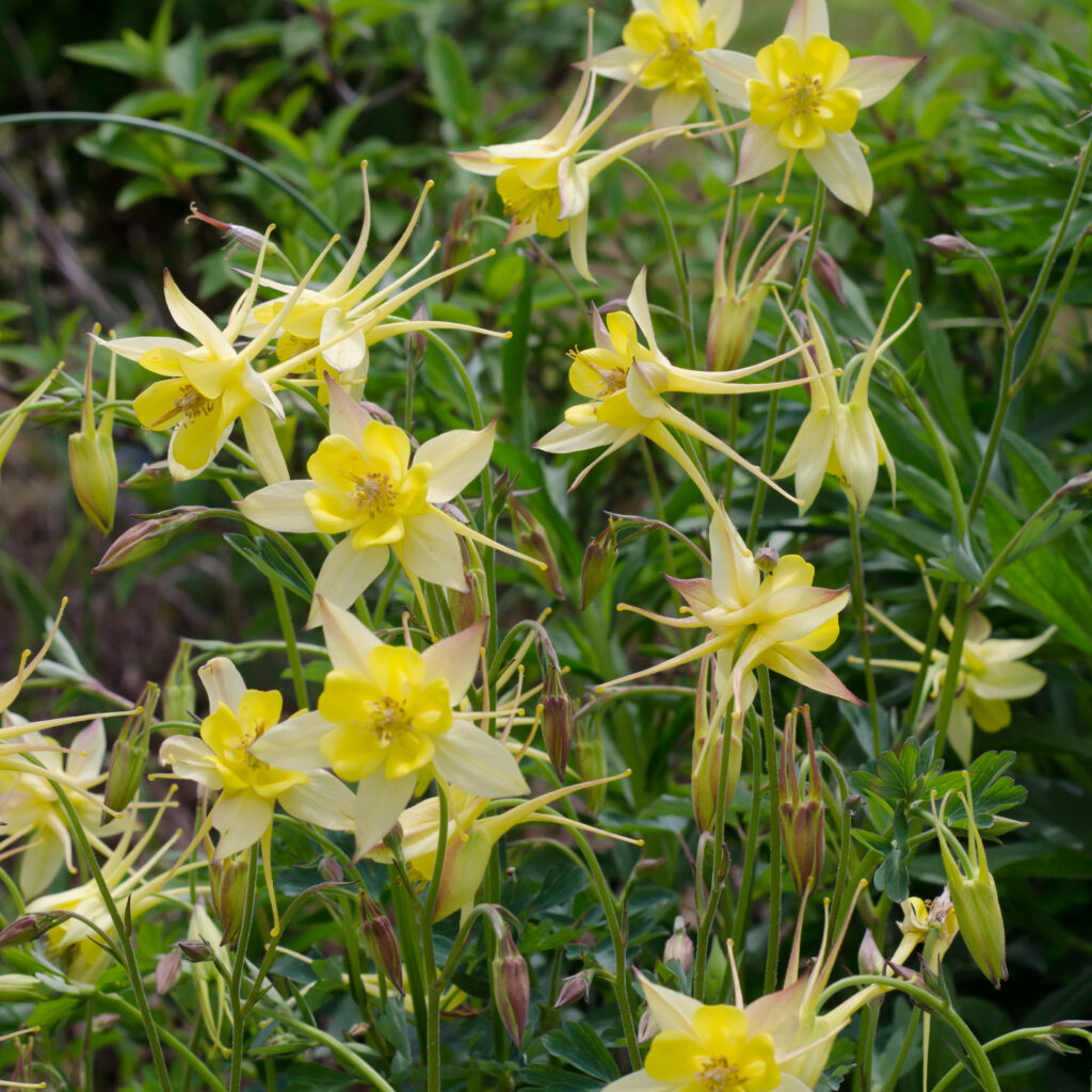 Columbine 'Denver Gold' (Aquiligia chrysantha)