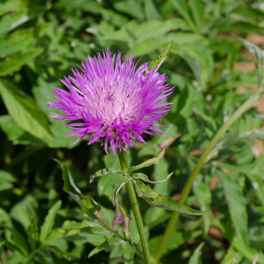 Persian cornflower (Centaurea dealbata)