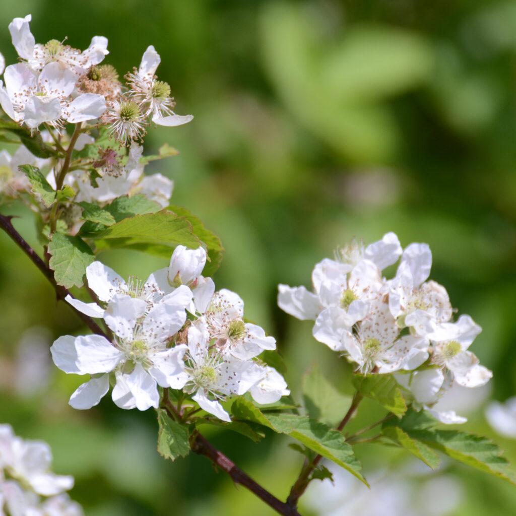 Wild Blackberry (Rubus allegheniensis)