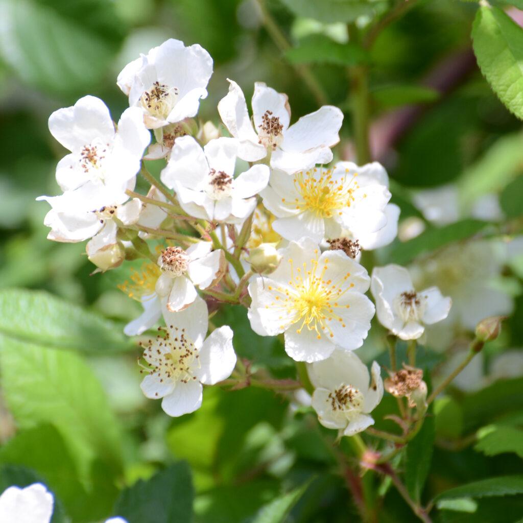 Wild Rose var. multiflora (Rosa multiflora)